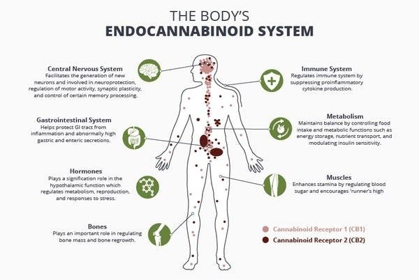 body's endocannabinoid system